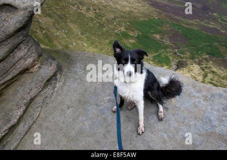 Border Collie sat on rocks at Fairbrook Naze, Peak District, England. - Stock Photo