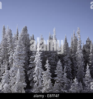 Frozen snow-covered trees, Wyoming, America, USA - Stock Photo