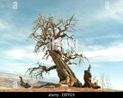 Dead tree, Dead Horse Point State Park, Utah, America, USA - Stock Photo