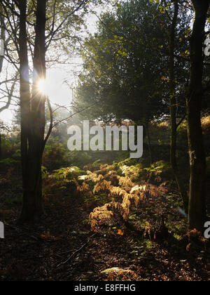 Sunlight through the trees in forest, New Forest, Hampshire, England, UK - Stock Photo