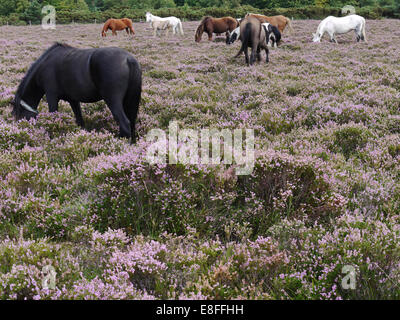 Herd of new forest ponies grazing on heather, Hampshire, England, UK - Stock Photo