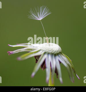 Close-up of dandelion seed on flower - Stock Photo