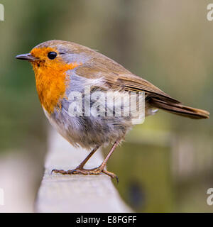 Close up of red robin bird sitting on fence - Stock Photo