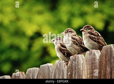 Three house sparrows perching on fence - Stock Photo