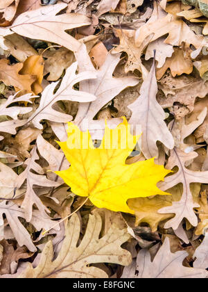Yellow leaf on dry brown leaves - Stock Photo