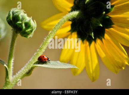 Ladybug on leaf of sunflower, Colorado, America, USA - Stock Photo