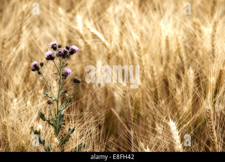 Thistle in wheat field - Stock Photo