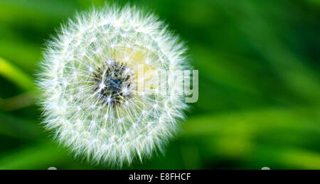 Close-up of a dandelion clock - Stock Photo