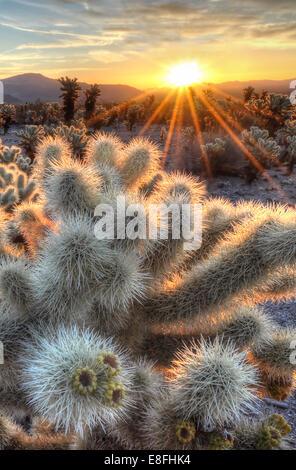 USA, California, Joshua Tree National Park, Cholla cactus sunrise - Stock Photo