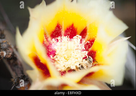 USA, Texas, Brewster County, Lajitas, Bee sleeping in cactus flower - Stock Photo
