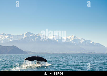 New Zealand, Canterbury, Kaikoura, View of whales tail fin - Stock Photo