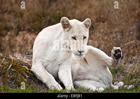 Portrait of a white lioness, Western Cape, South Africa - Stock Photo