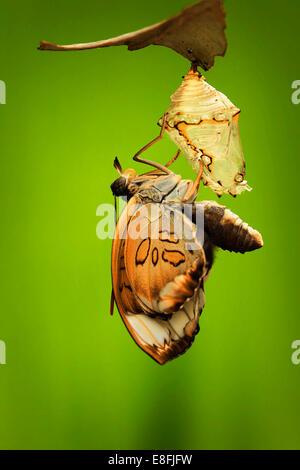 Indonesia, Jember, View of moths metamorphosis - Stock Photo