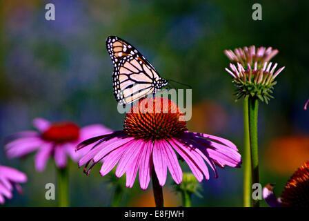 USA, Minnesota, Hennepin County, Minneapolis, Longfellow Park, Purple Coneflowers and monarch butterfly - Stock Photo