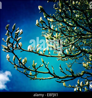 Magnolia tree spring buds, Hampshire, England, UK - Stock Photo
