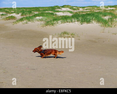 Dachshund Dog running on the beach, Denmark - Stock Photo