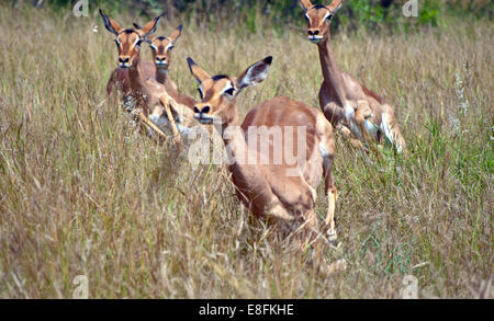 Red Impalas running in savannah, South Africa - Stock Photo