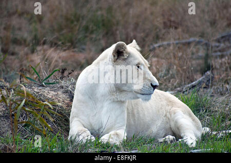 Portrait of a white lion, South Africa - Stock Photo