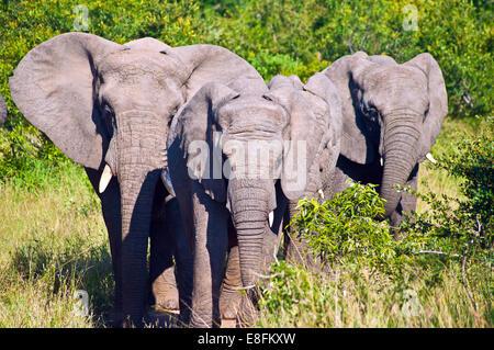 Herd of African Elephants walking in savannah, Mpumalanga, South Africa - Stock Photo