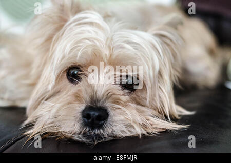 Portrait of a white yorkshire terrier dog lying on sofa - Stock Photo