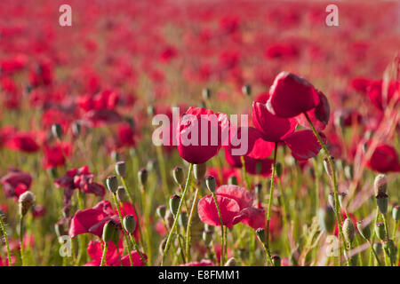Close-up of of red poppy field, Andalucia, Spain - Stock Photo