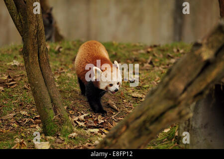 Red Panda walking on  leaf covered grass - Stock Photo