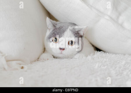 Cat hiding in pillows - Stock Photo
