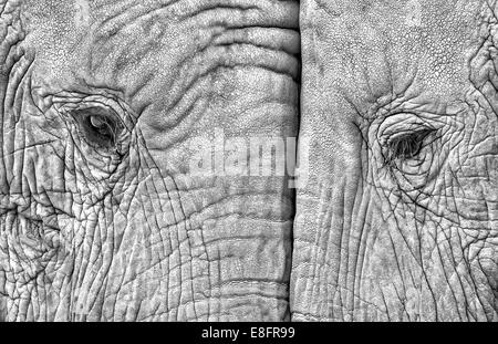 Close-up of two elephants standing face to face - Stock Photo