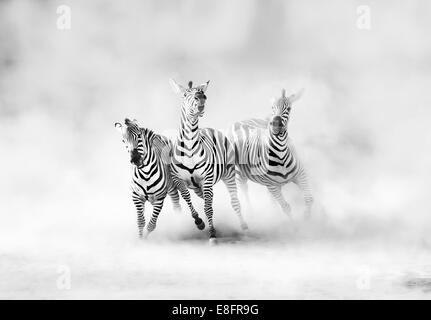 Zebras (perissodactyla) running in dust cloud - Stock Photo