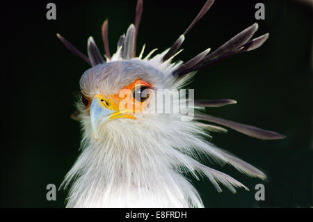 Secretary Bird, Western Cape, South Africa - Stock Photo