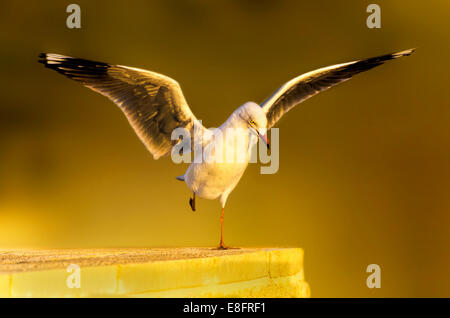 Seagull Landing on wall - Stock Photo