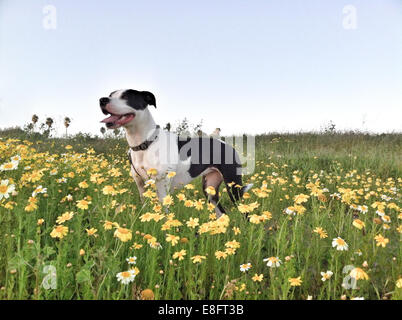 Dog standing in a field of flowers - Stock Photo