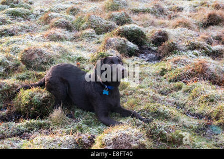 UK, England, West Midlands, Staffordshire, Downs Banks, Chocolate labrador puppy lying down on frosty grass - Stock Photo