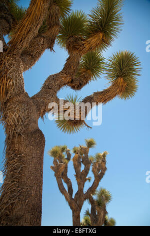 USA, View of Joshua trees - Stock Photo