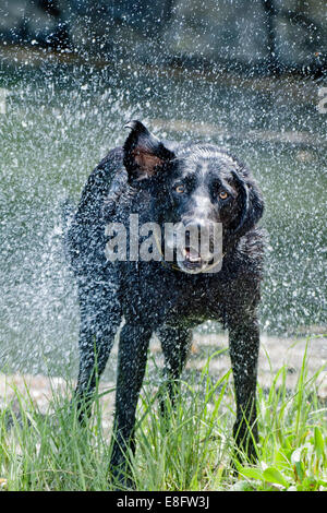 Dog drying off - Stock Photo
