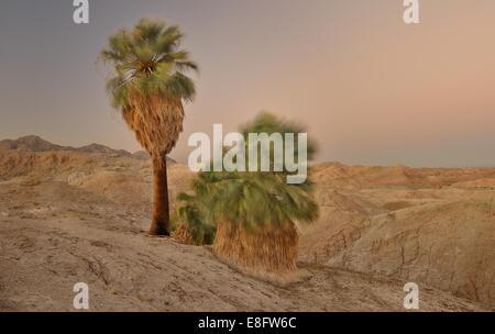 USA, California, Anza-Borrego State Park, Windy Five Palms at Dusk - Stock Photo