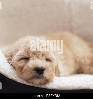 Puppy dog sleeping in basket - Stock Photo