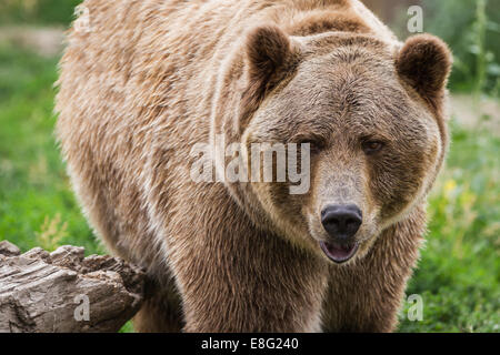close up of an adult grizzly bear on green grass - Stock Photo