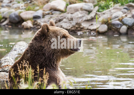 adult grizzly bear enjoying time in a pond filled with water - Stock Photo