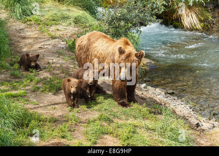 A brown bear sow and her three yearling cubs by Brooks Falls, Katmai National Park, Alaska, United States of America. - Stock Photo