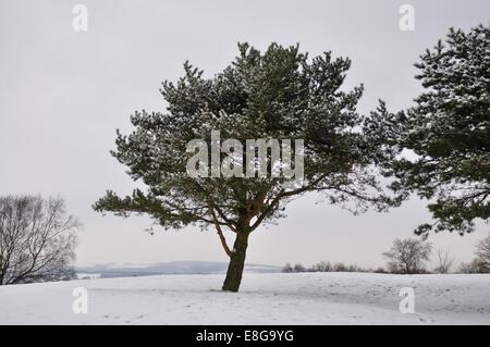 Pine tree covered in snow on a golf course - Stock Photo