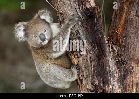 Wild koala pauses while climbing up a tree, Kangaroo Island, South Australia - Stock Photo