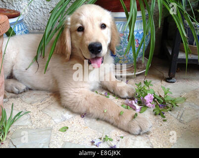 Golden Retriever puppy chewing plants - Stock Photo