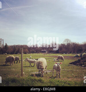 France, Rouen, Calvados, Lisieux, Courtonne-la-Meurdrac, Lambs grazing on farm - Stock Photo