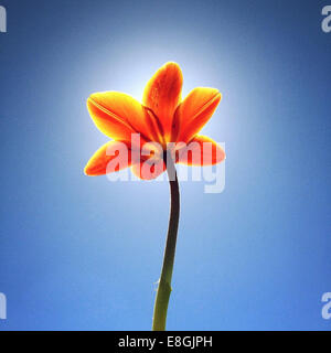 Close-up of tulip flower against blue sky - Stock Photo