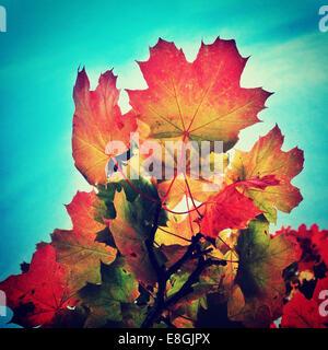 Multi-colored autumn leaves against blue sky Stock Photo