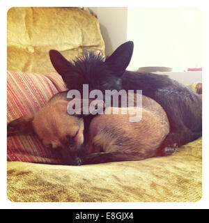 Two puppy dogs sleeping on a couch in living room - Stock Photo