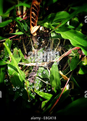 Indonesia, Special Region of Yogyakarta, Drops on spider web - Stock Photo
