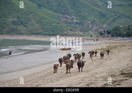 Indonesia, West Nusa Tenggara, Kabupaten Lombok Tengah, Kuta, Kuta Beach, Cow walking on beach - Stock Photo