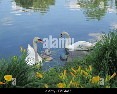 USA, New York State, New York City, Huntington, Adult swans with two cygnets at park - Stock Photo